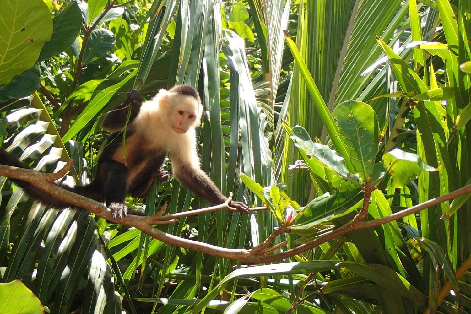 White-faced capuchin monkey sits in the sun