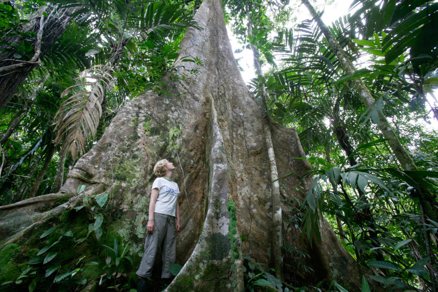Enormous trees in the Bananito rainforest - some of which can be climbed
