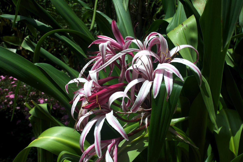 Flowers of the Else Kientzler Botanical Gardens near San José