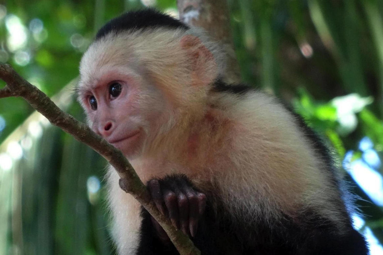 White-faced capuchin monkey at Manuel Antonio in Costa Rica