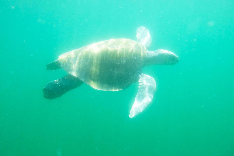 Sea Turtle swimming off Ostional beach, Nicoya Peninsula