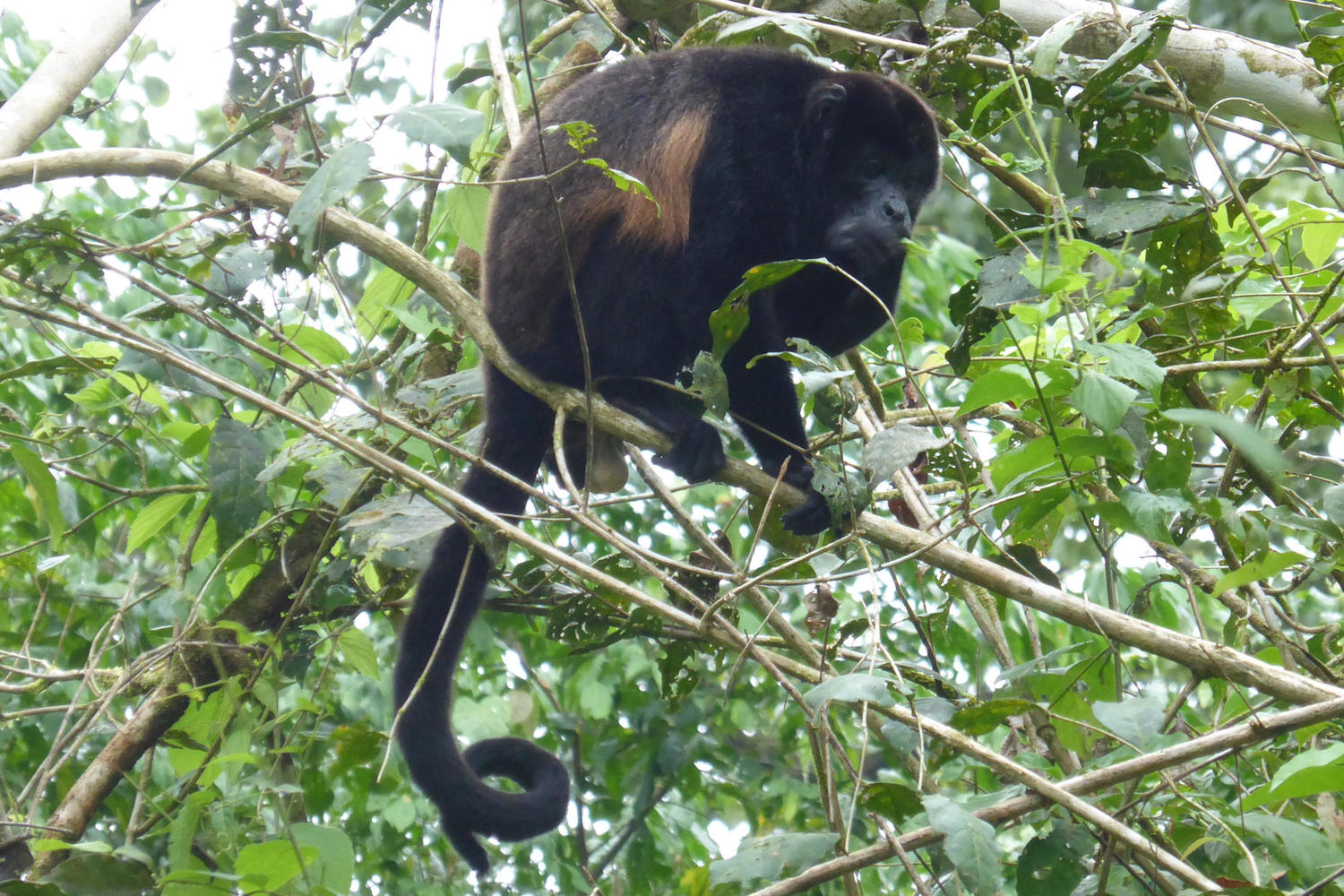 Howler monkey hanging out in La Sirena, Corcovado