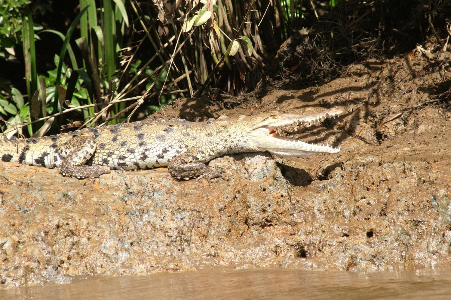 Caiman by the shore of Corcovado National Park