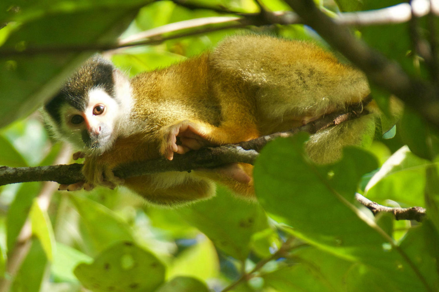 A squirrel monkey peers down from a tree on Osa Peninsula