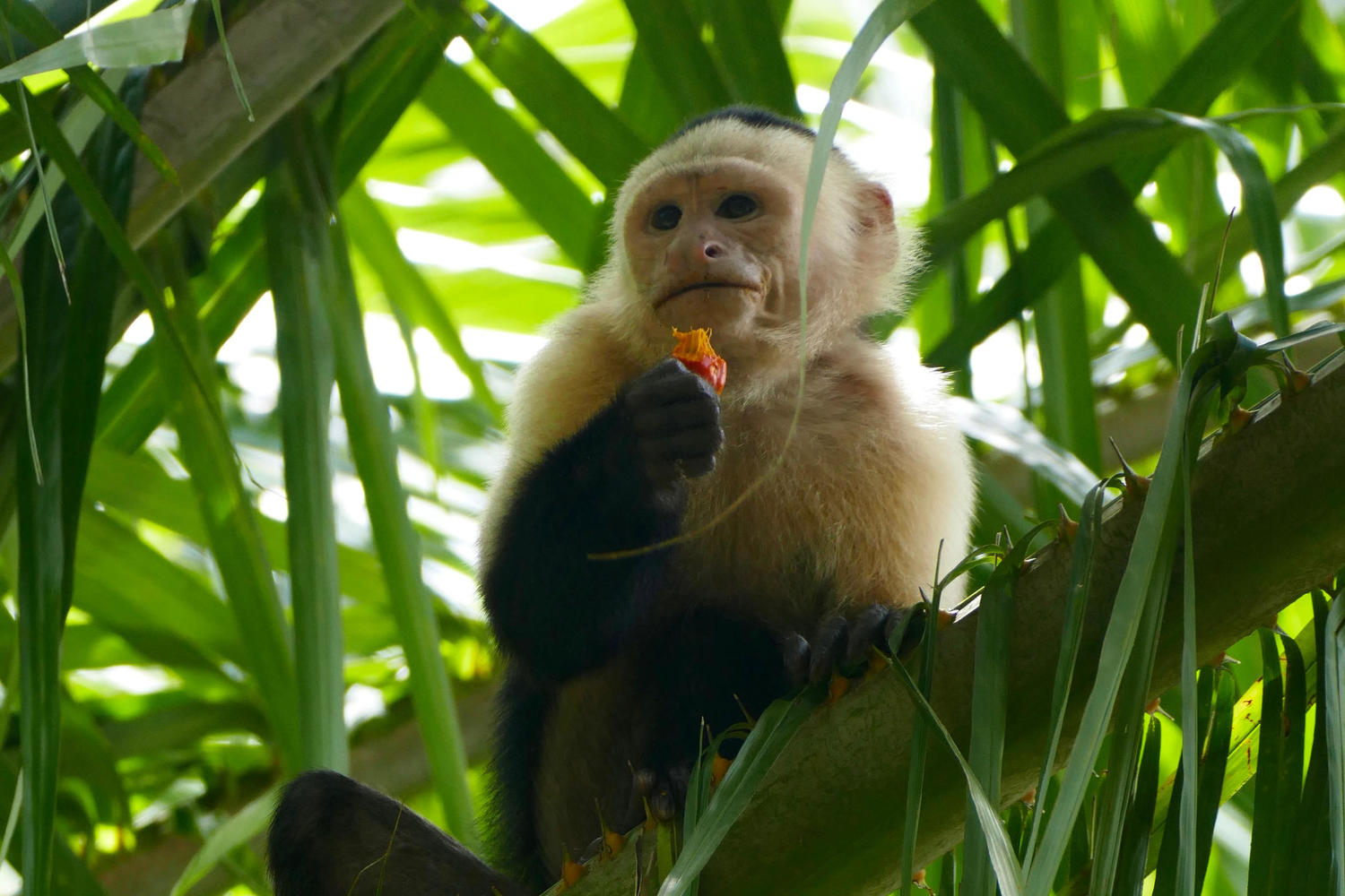 A white-faced capuchin monkey eating fruit, Osa Peninsula