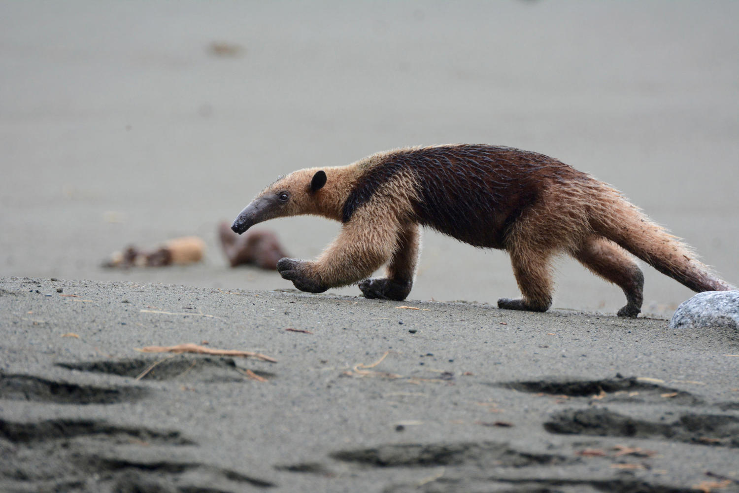 An anteater with huge feet combs the beach for food