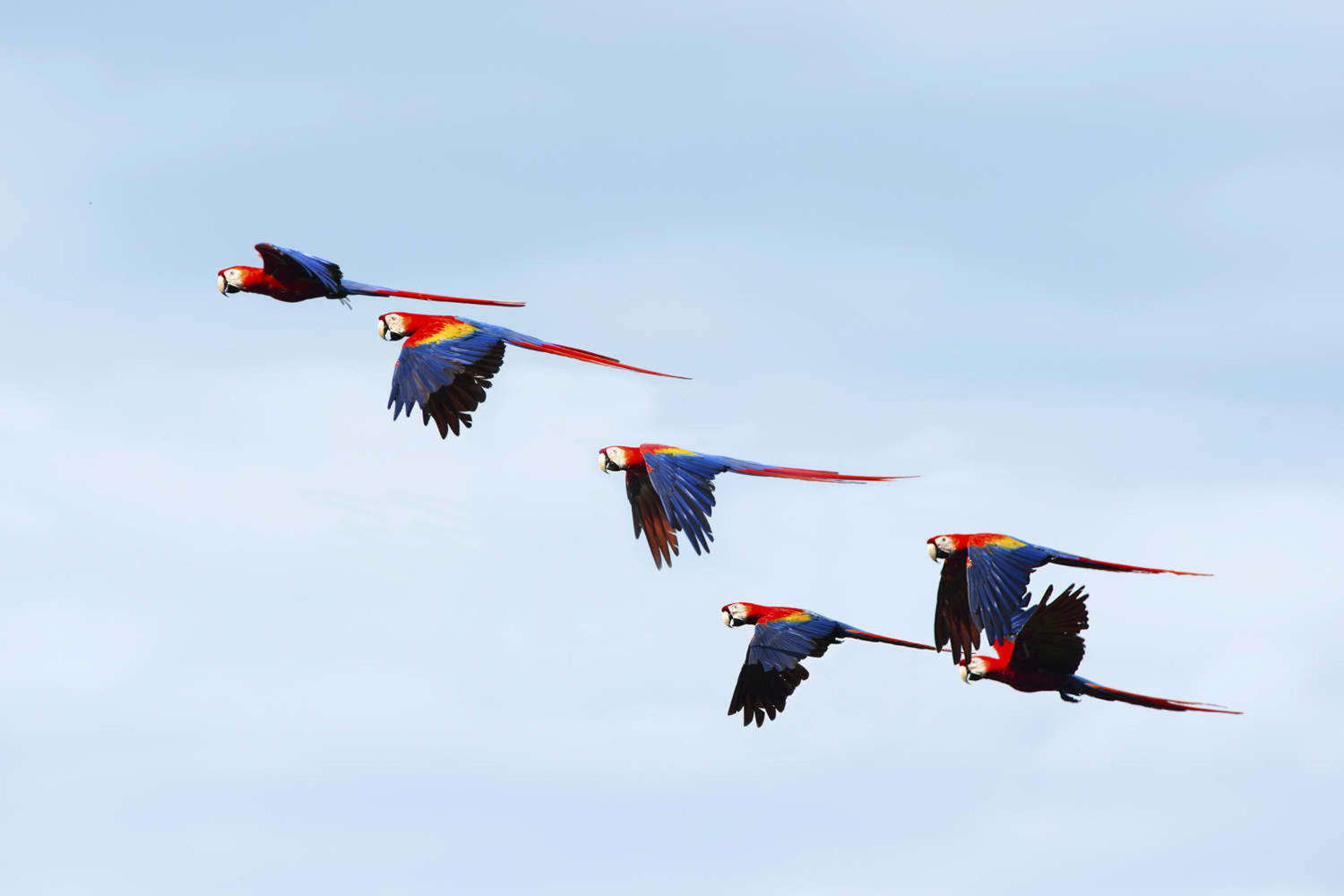 Flock of wild scarlet macaws at Corcovado national park
