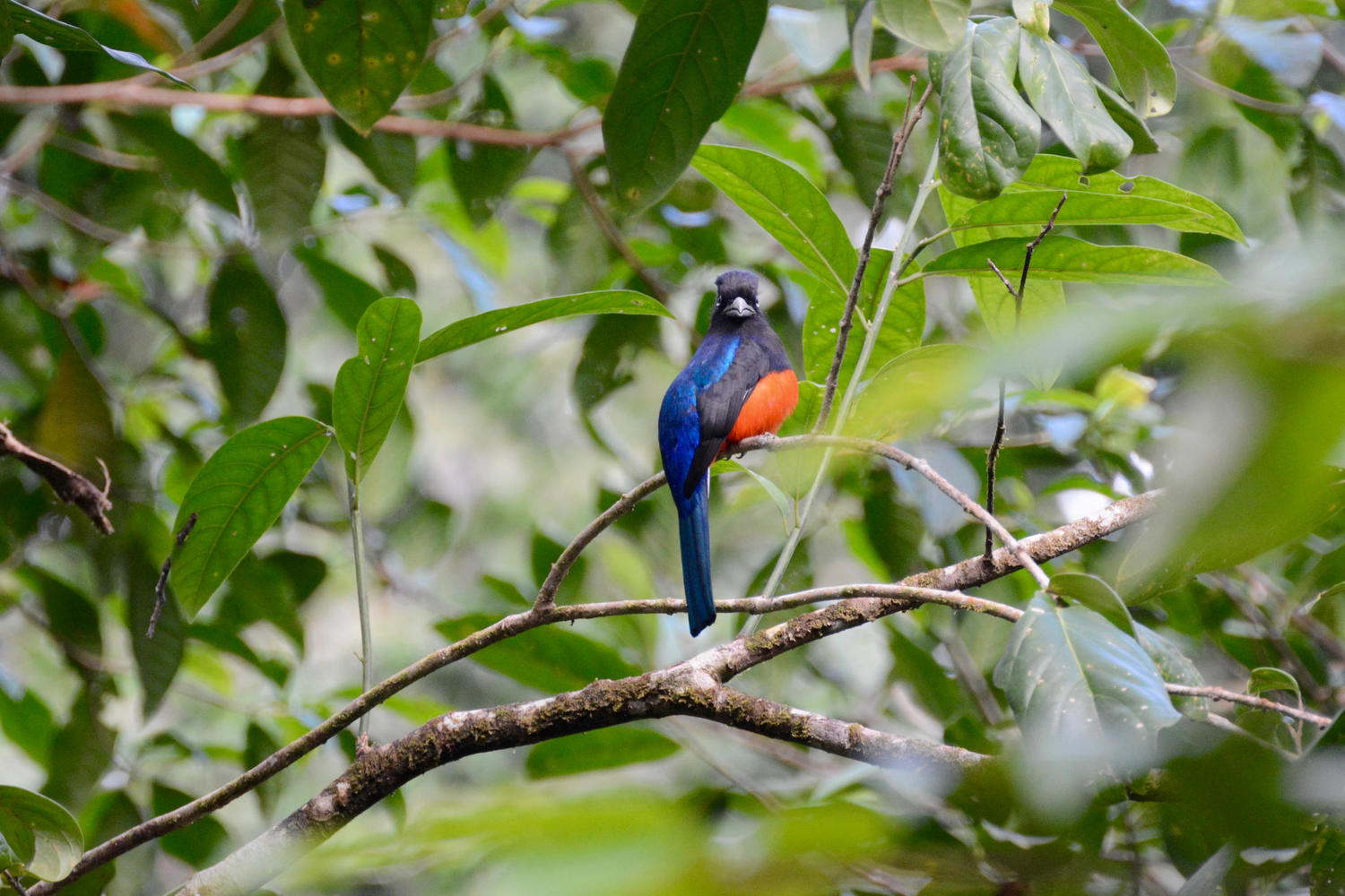 A beautiful little bird looks at the camera in Corcovado National Park