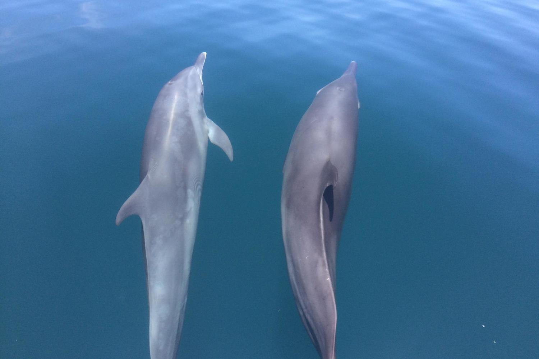 Bottlenose dolphins accompanying the boat