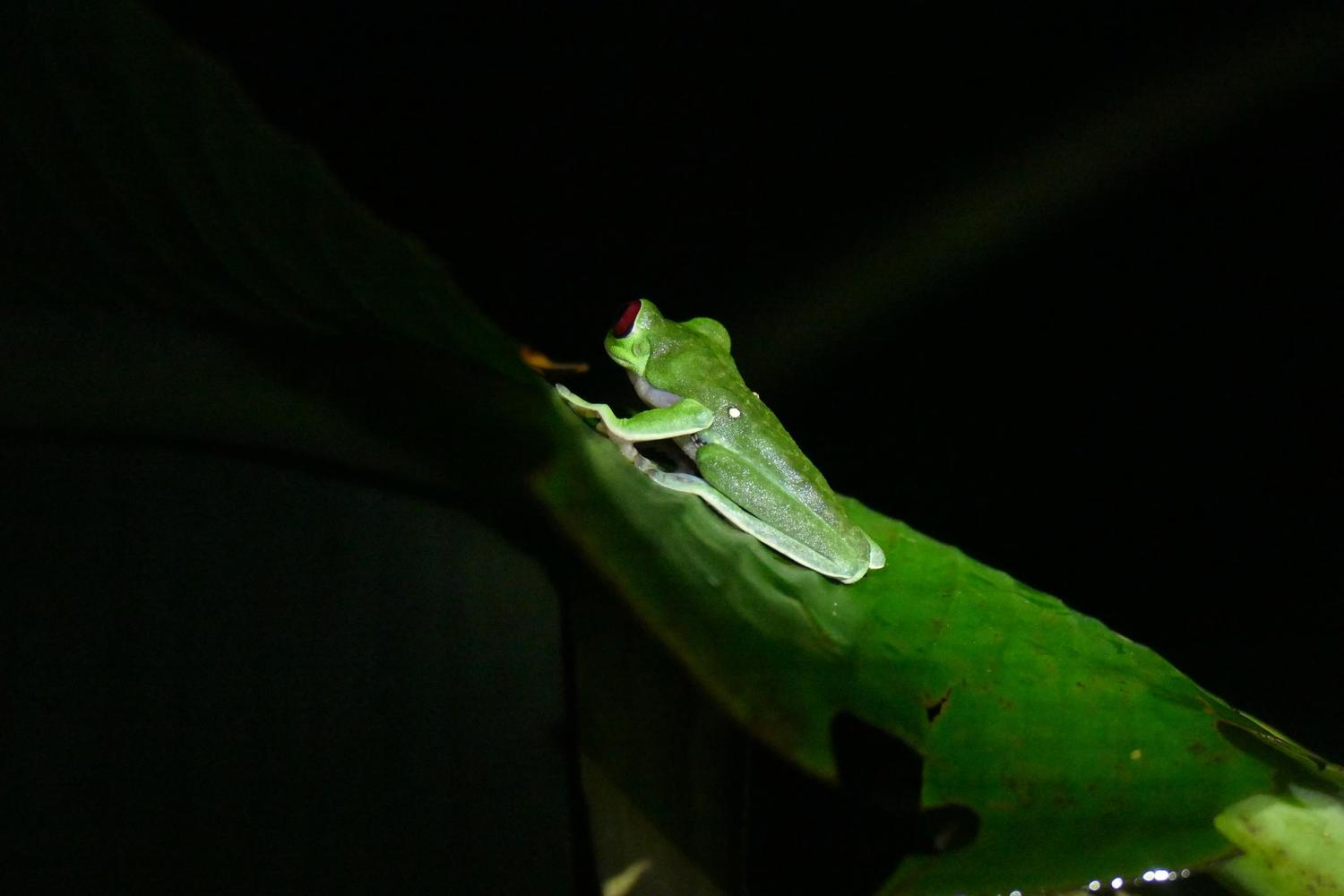 Tree frog spotted on a night walk