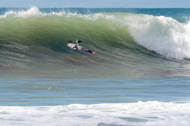 Pelican on Matapalo Beach, Osa Peninsula