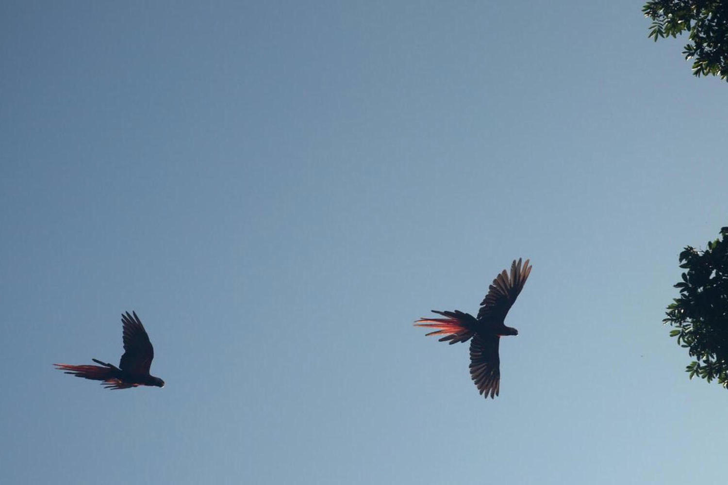 Macaws flying overhead on the Osa peninsula