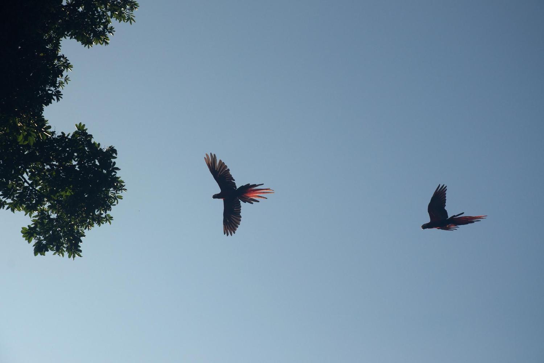 Scarlet macaws in flight above Manuel Antonio