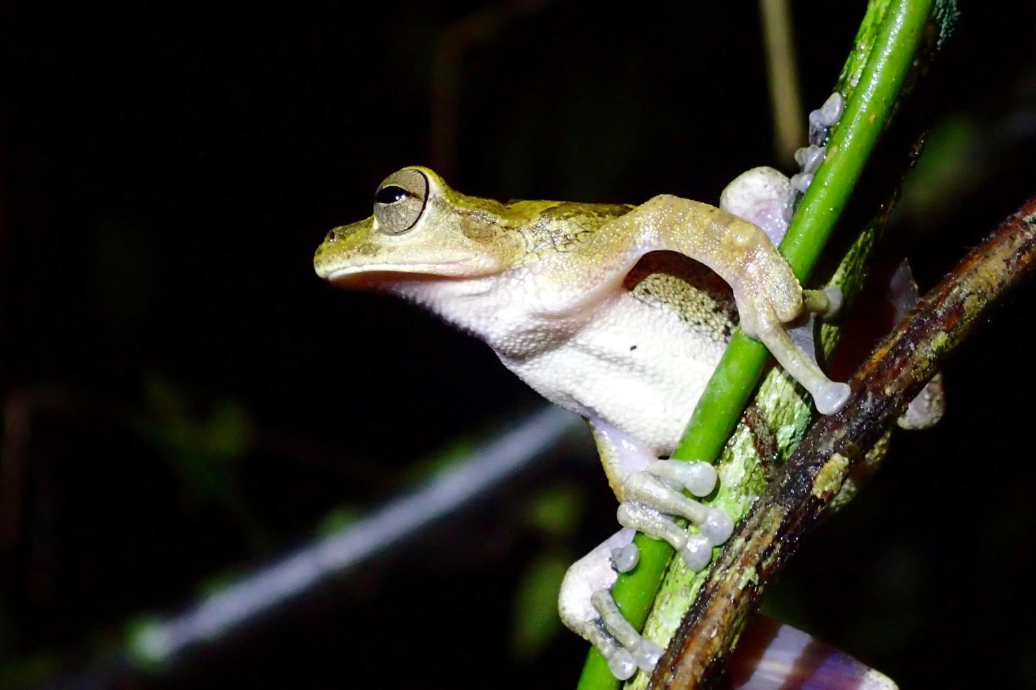 Tree frog spotted on a night walk, Osa Peninsula