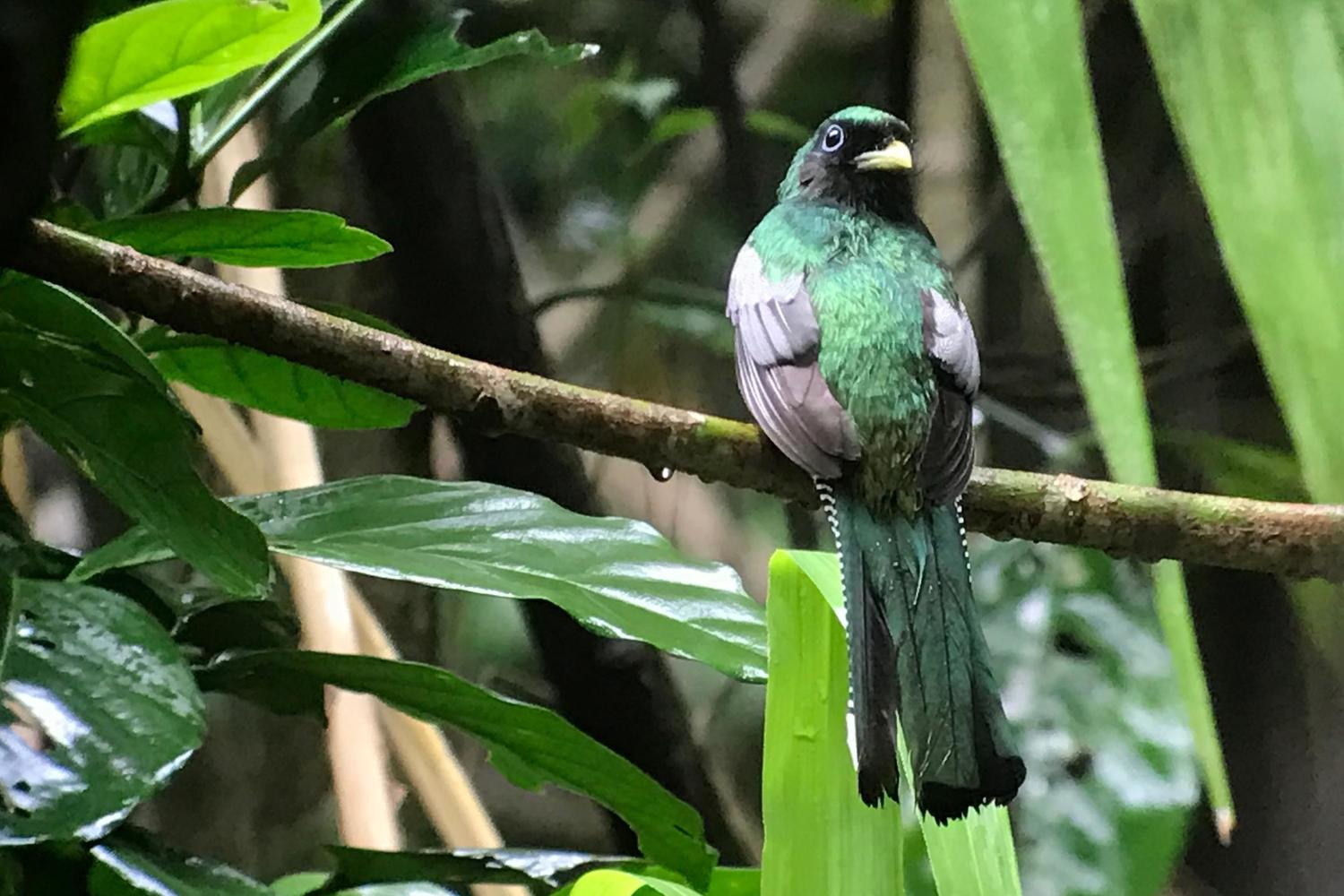 Trogon in Corcovado National Park