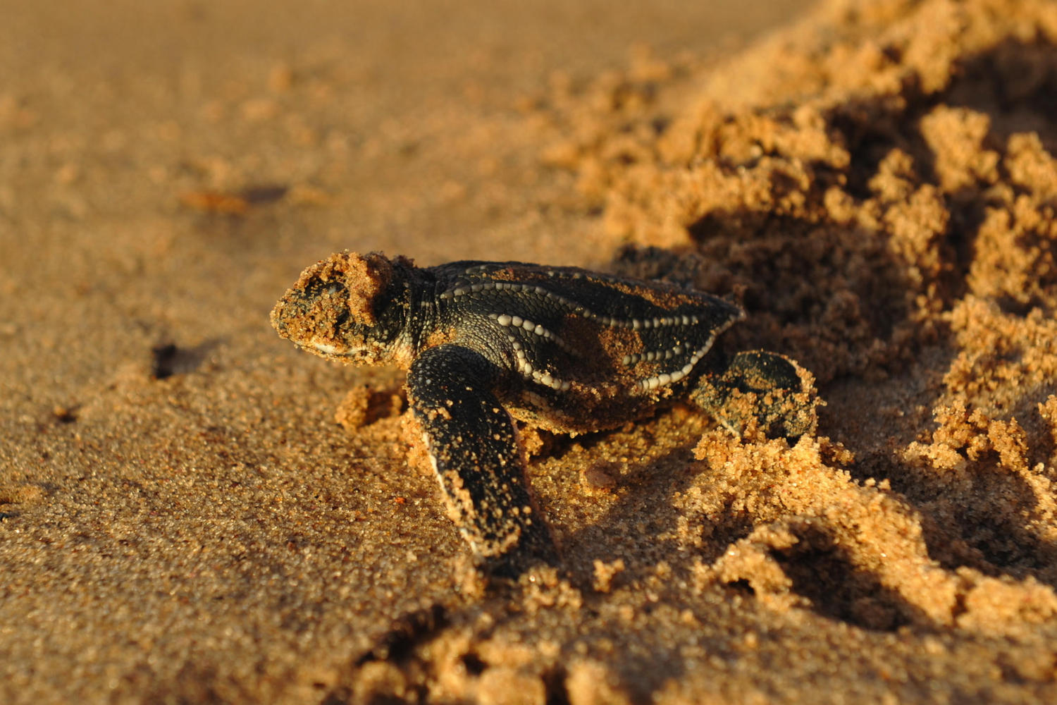 Olive Ridley turtle emerging from the sands to head for the Pacific