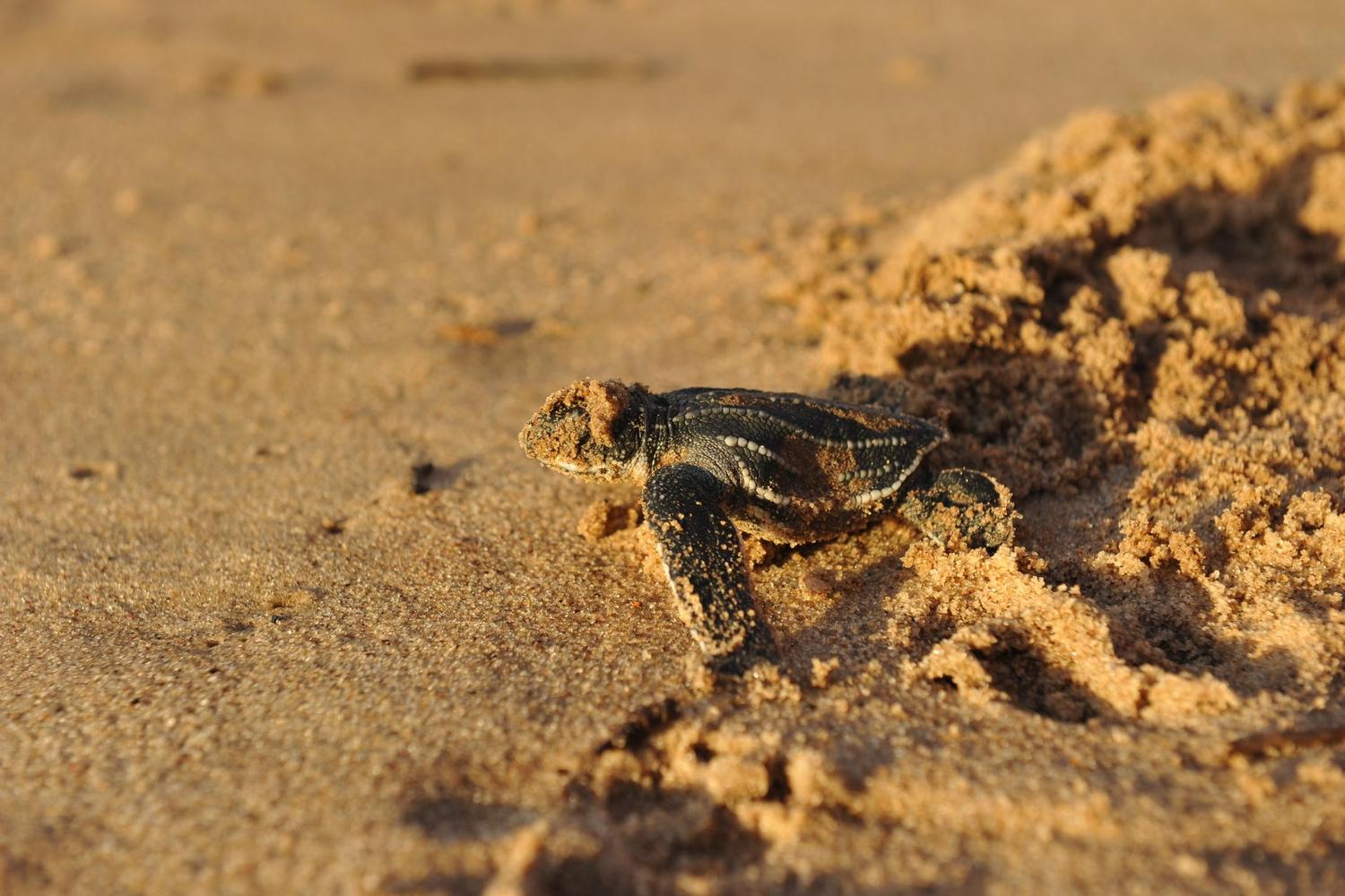 A newly hatched turtle heads seawards in Costa Rica