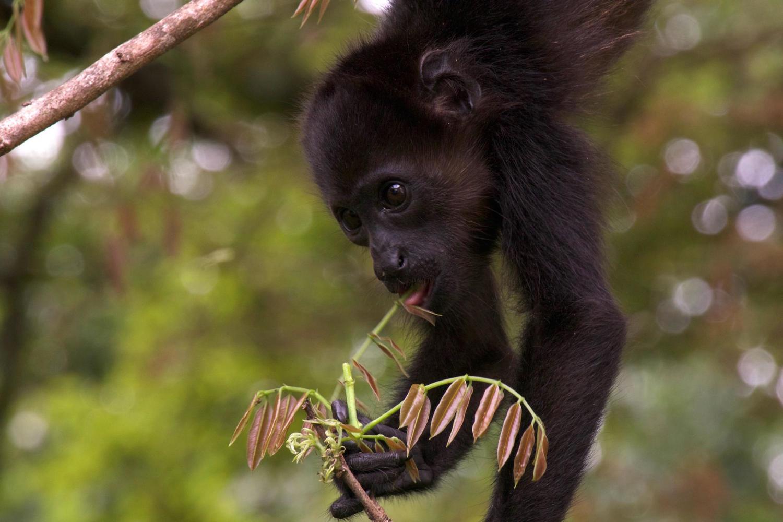 Black-faced baby monkey, Samara