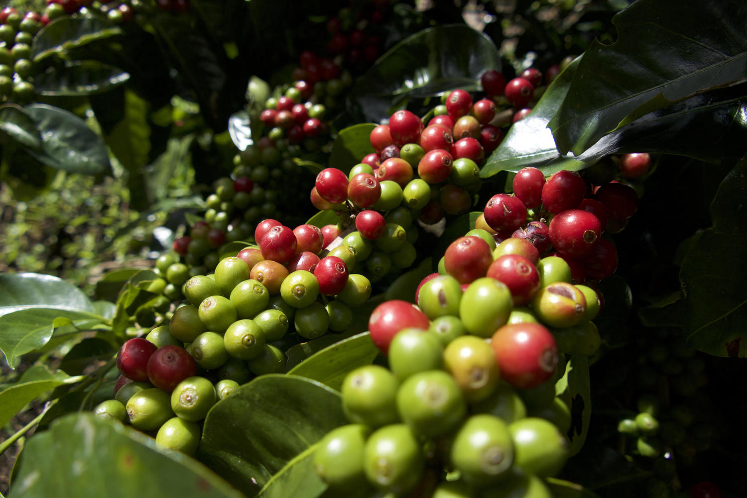 Coffee beans on the cusp of harvest in Chirripo