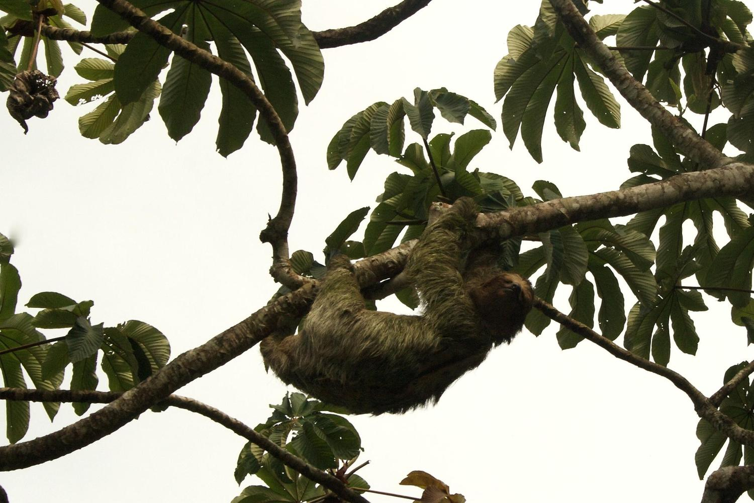 Three-toed sloth making its way very slowly through the canopy