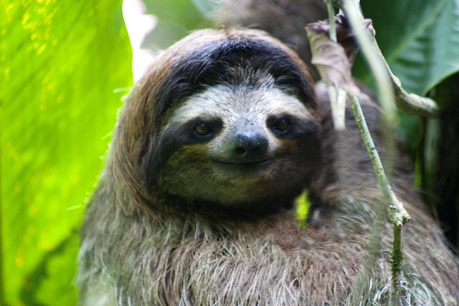 The extraordinary features of a sloth