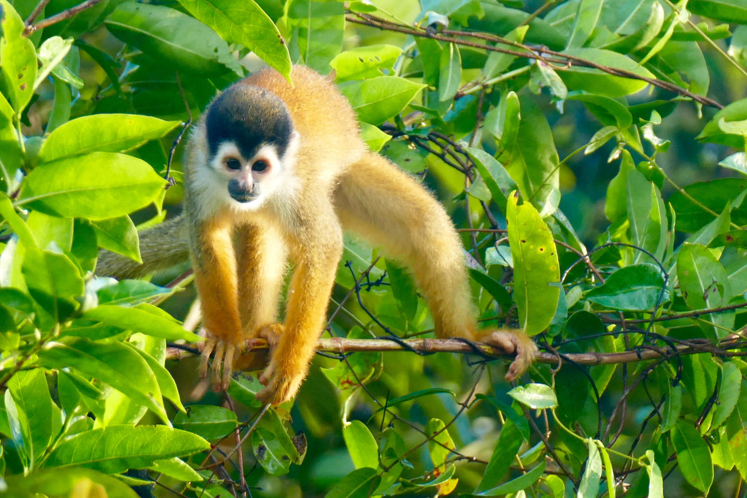 Squirrel monkey in Osa Peninsula