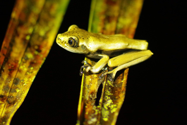 Frog found on night walk from Eden Lodge, Ecuadorian Amazon