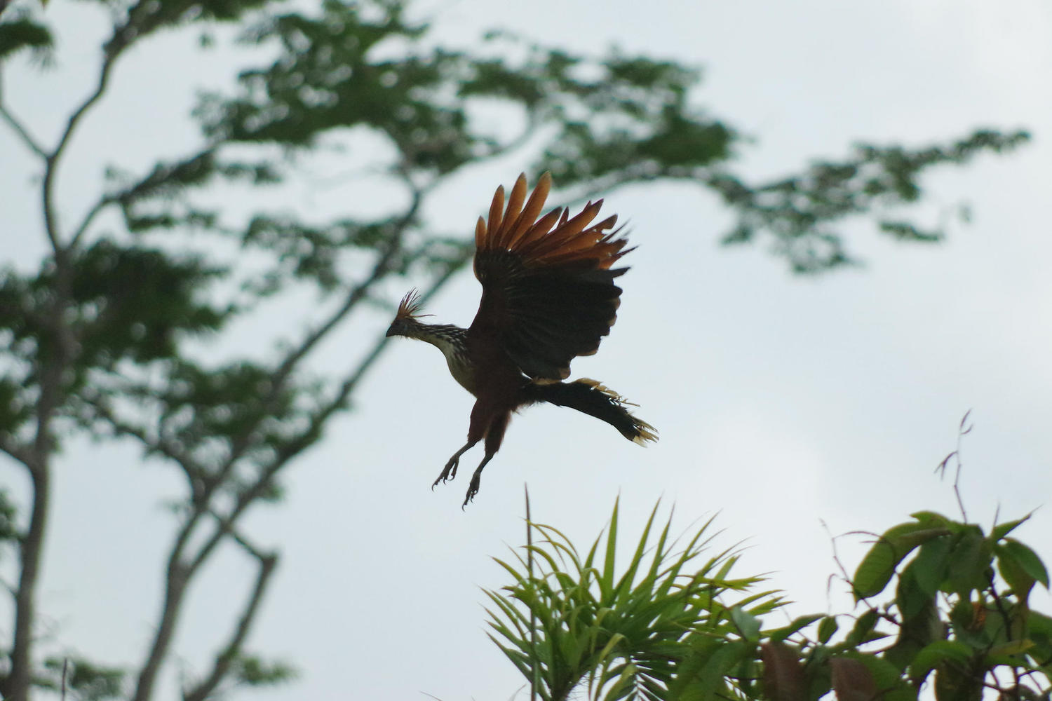 hoatzin coming in to land at Eden Lodge in Ecuadorian Amazon