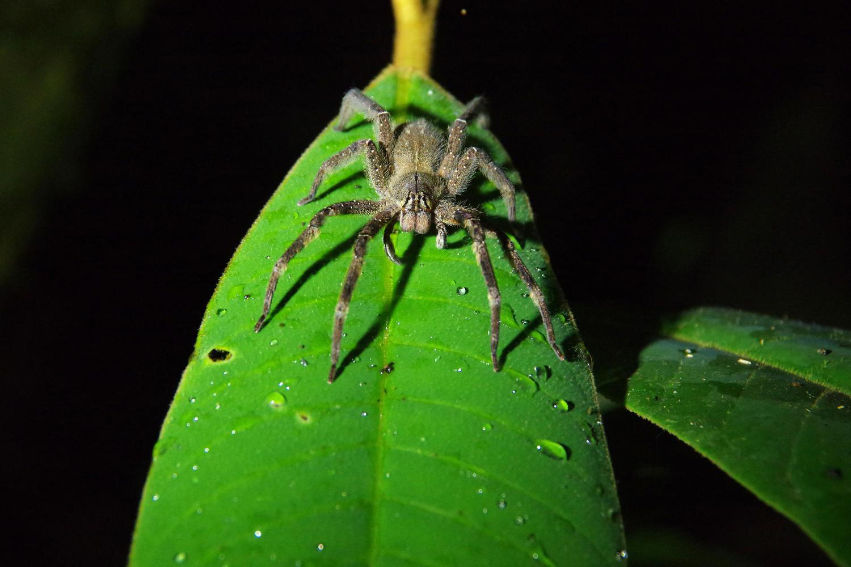 Tarantula on night walk from Eden Lodge in Ecuadorian Amazon