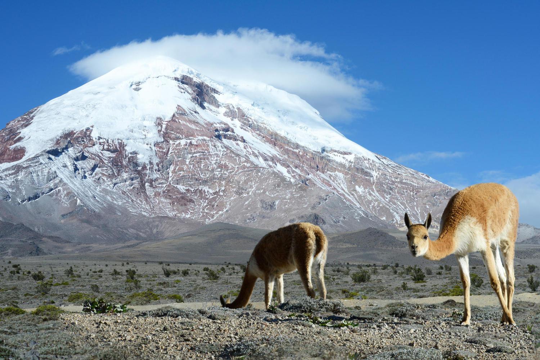 Vicuna grazing at Chimborazo Volcano, Ecuador