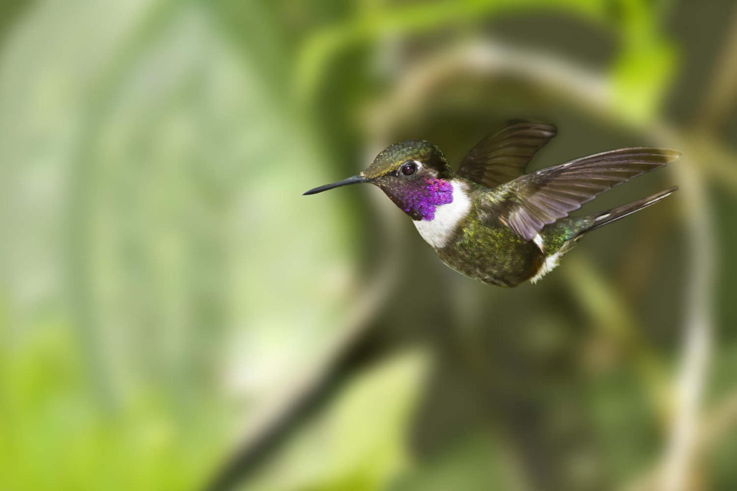 Male Purple-throated Woodstar Hummingbird in flight in Ecuador cloudforest