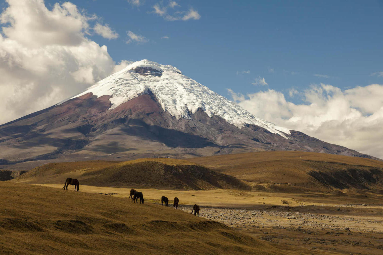 Wild horses grazing at the foot of Cotopaxi volcano