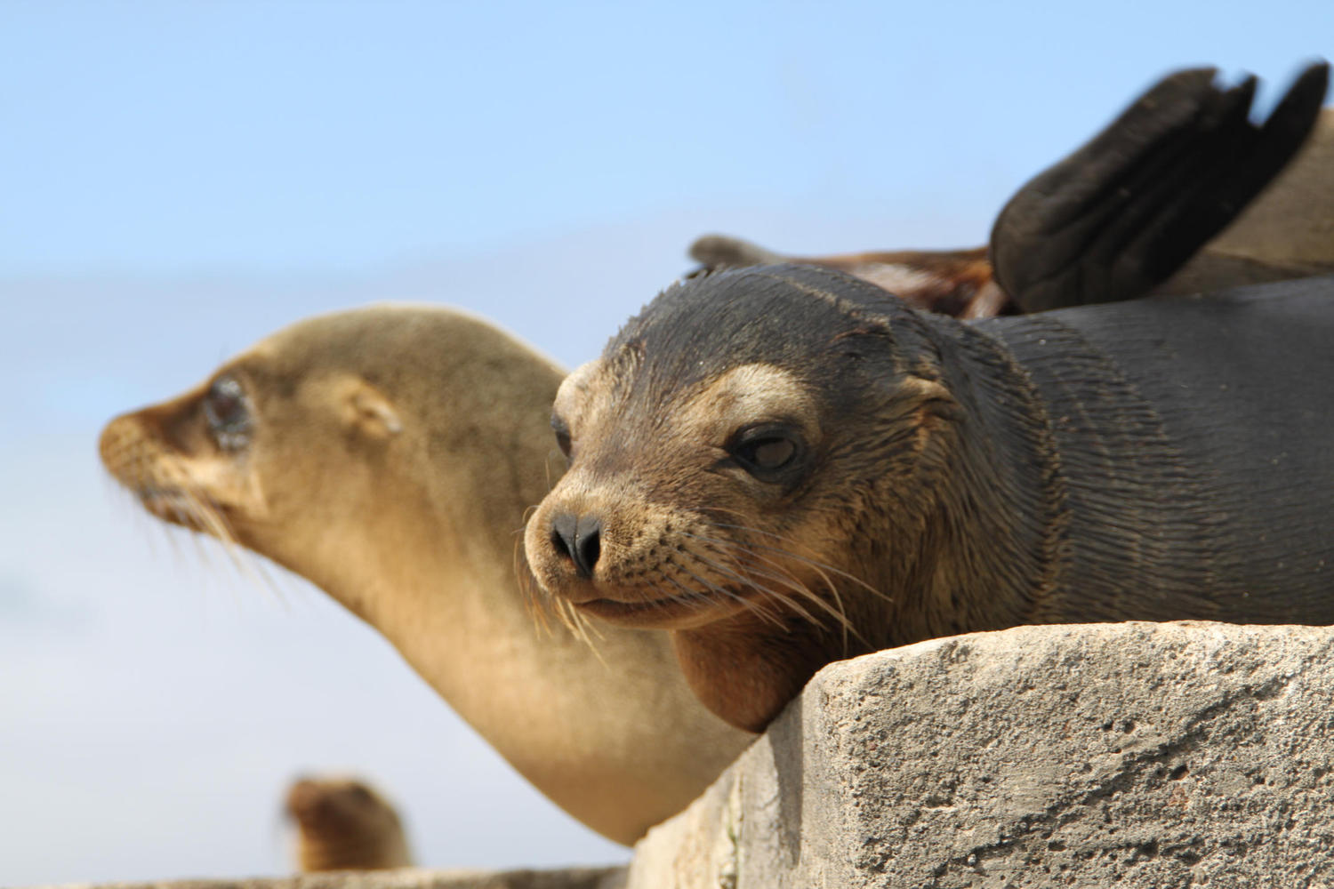 Fur seals in the sun on Floreana Island, Galapagos