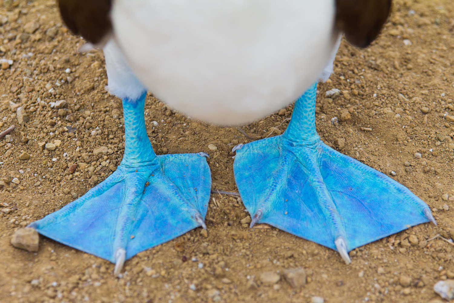 Close up of feet of a blue footed booby