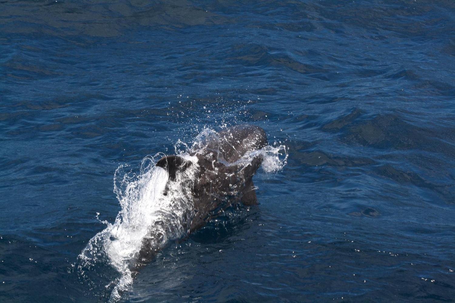 Dolphin leaping in the Galapagos Islands
