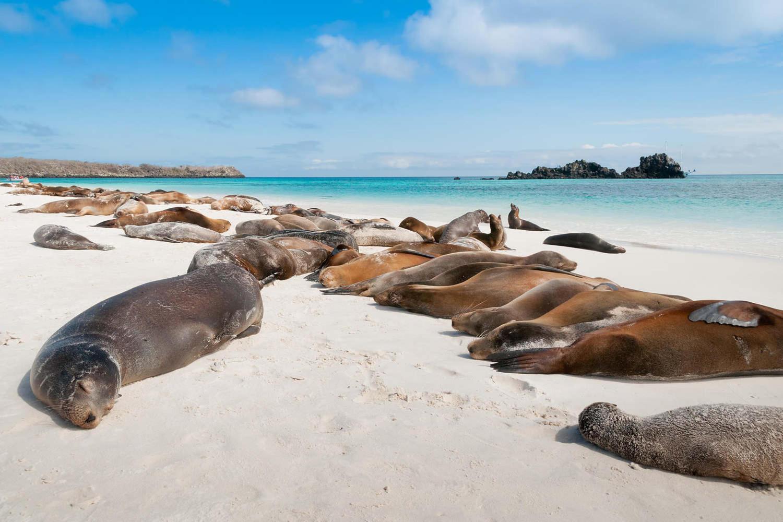 Espanola island with many sea lions sleeping on a beach