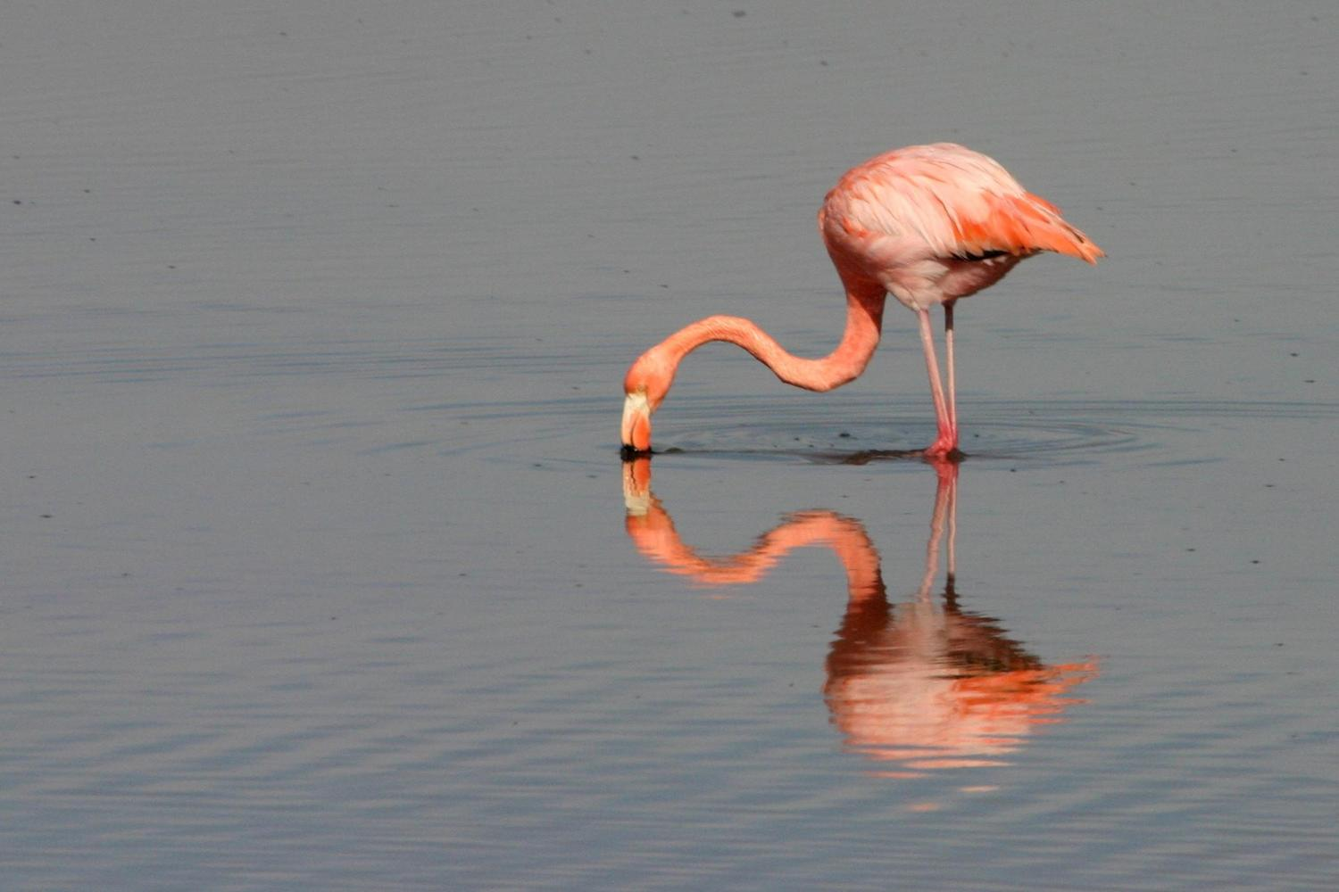Flamingo feeding on Floreana Island