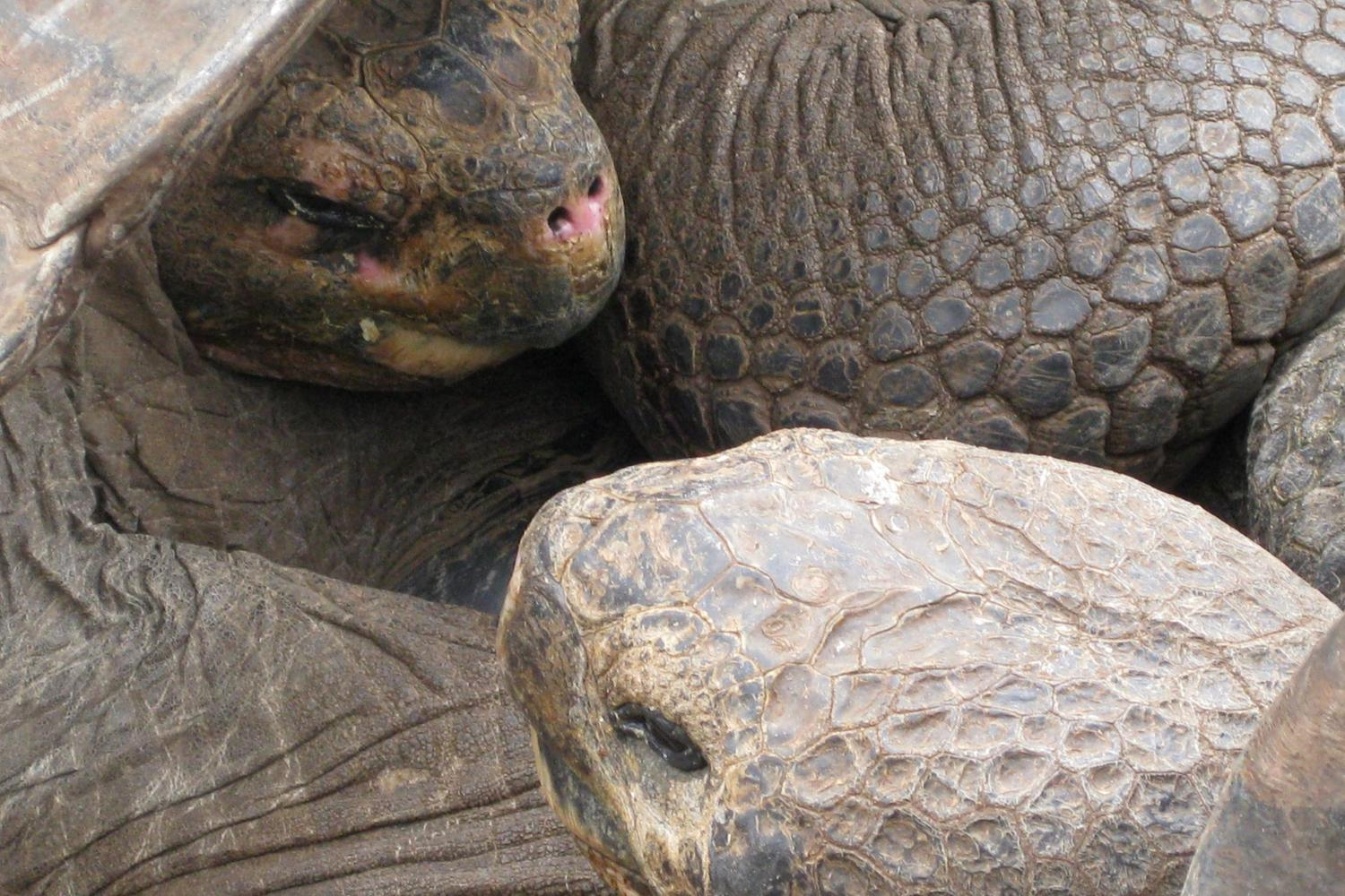 Giant tortoise close encounter in the Galapagos Islands