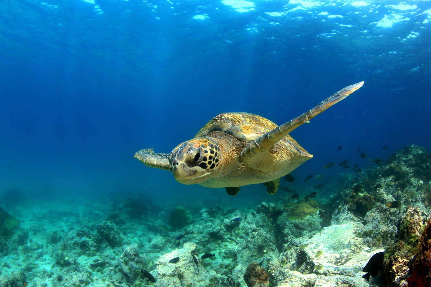 Green sea turtle swimming underwater