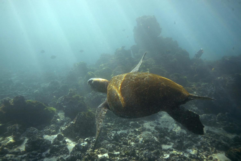Sea turtle swimming in the Galapagos Islands