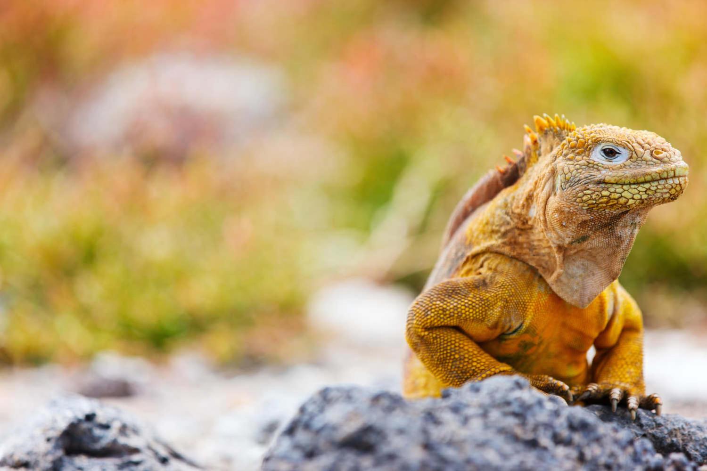 Galapagos islands endemic land iguana