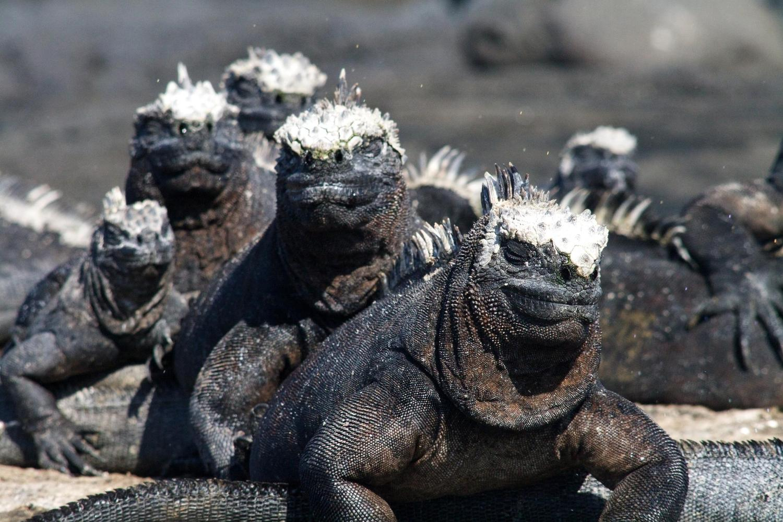 Marine iguana pile up, Fernandina Island, Galapagos