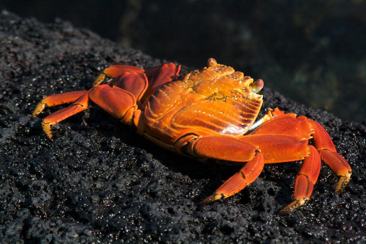 Sally Lightfoot crab in contrast with lava, Galapagos