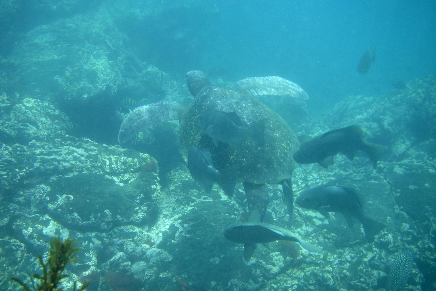 Sea turtle swimming in the Galapagos Islands