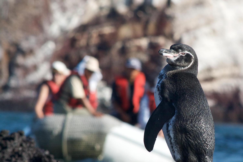 A diminutive Galapagos penguin on the Mariela Islands, Galapagos