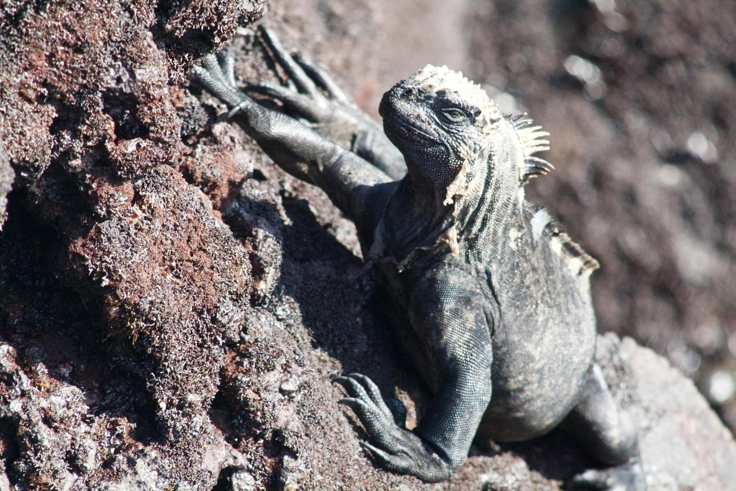 A marine iguana catching the afternoon sun on Isabela Island, Galapagos