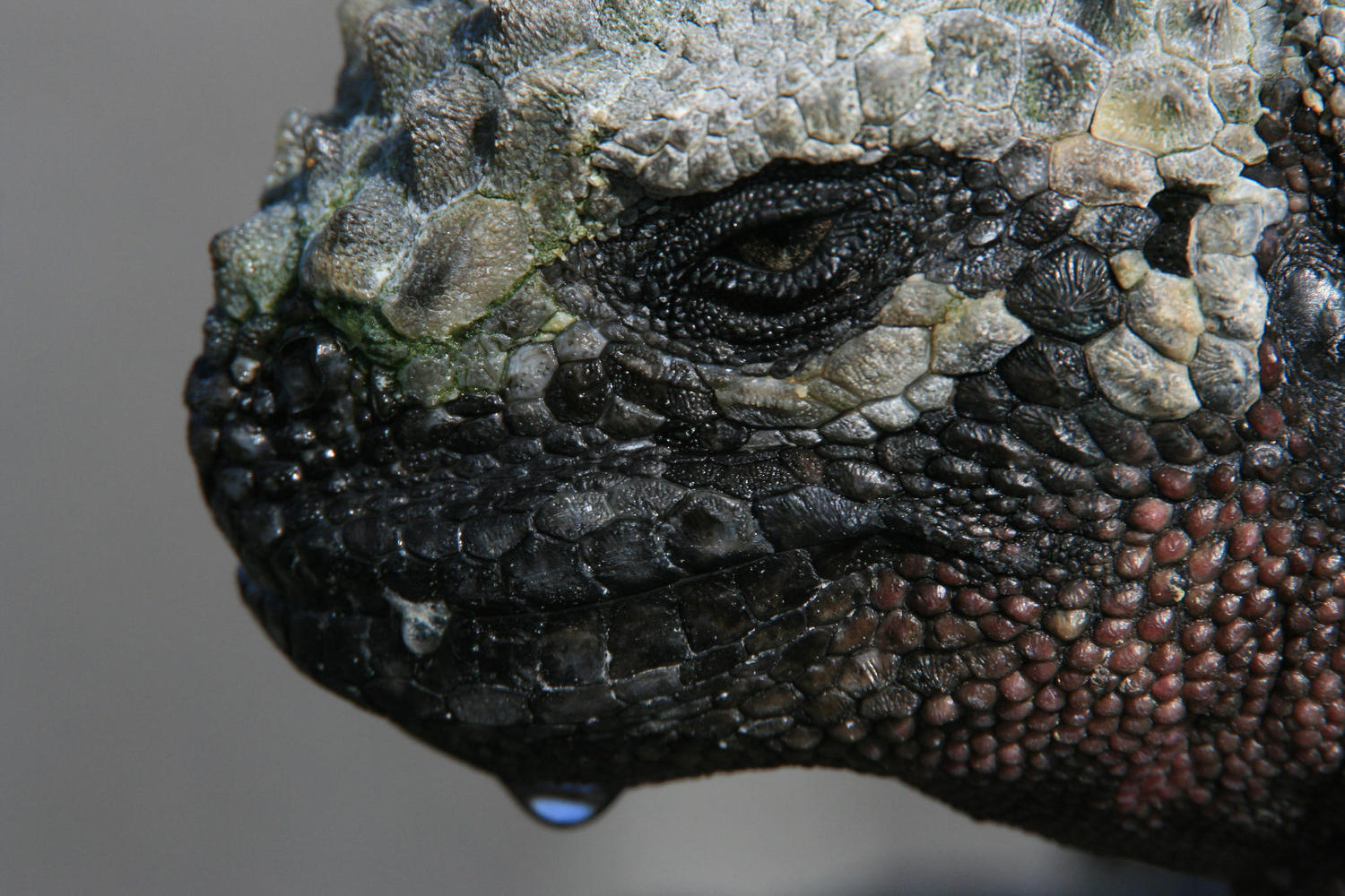 Marine iguana fresh from a foraging dive, Galapagos