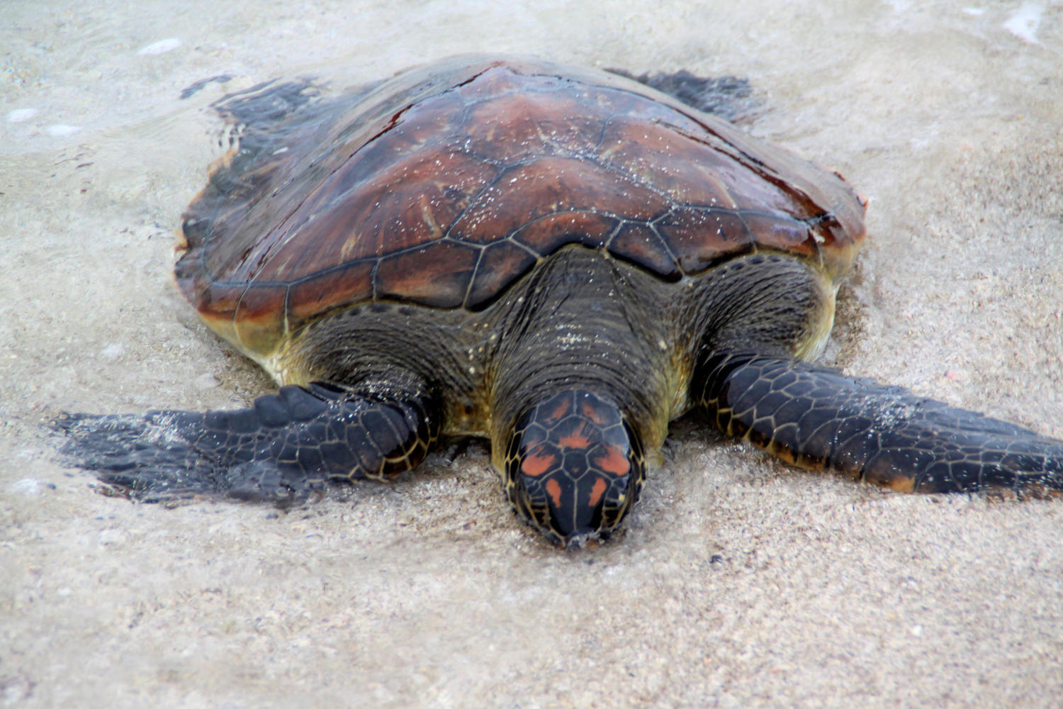 A leatherback turtle coming ashore in the Galapagos