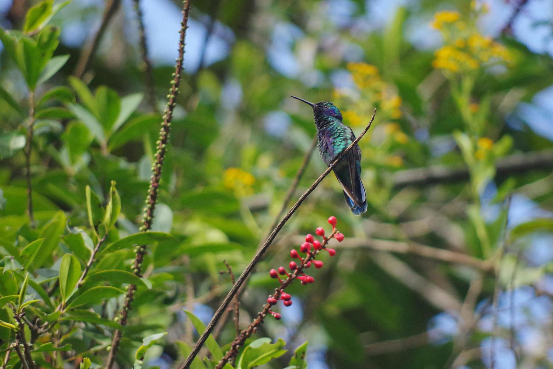 Hummingbird in El Monte garden, Mindo