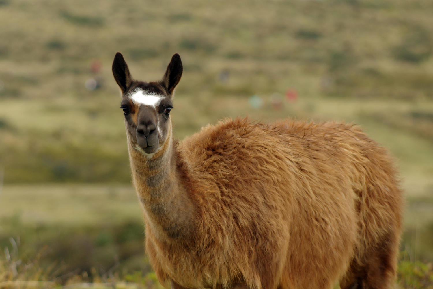 Llama with some impressive ears on the edge of Cotopaxi National Park